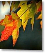 Sugar Maple Fall Colors Metal Print