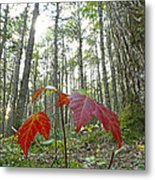 Sugar Maple In Old-growth Canadian Metal Print