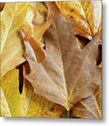 Sugar Maple Leaves Metal Print