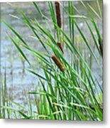 Summer Cattails In The Breeze Metal Print
