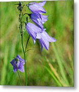 Summer Flowering Harebell Metal Print