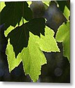 Summer Maple Leaves Metal Print