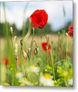 Summer Meadow With Red Poppy Metal Print