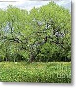 Summer Mesquite Tree Metal Print