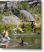 Summer Morning Dip - Elk In Yellowstone National Park - Wyoming Metal Print