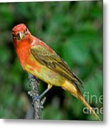 Summer Tanager Changing Color Metal Print