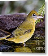 Summer Tanager Female In Water Metal Print