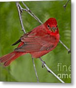 Summer Tanager Male Metal Print