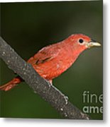 Summer Tanager Male Perched-ecuador Metal Print