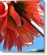 Summer's End Dahlia Metal Print