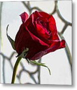 Sun Kissed Rose Metal Print