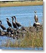 Sunbathing Cormorants  Metal Print
