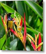 Sunbird On Heliconia Ginger Flowers Singapore Metal Print