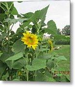 Sunflower And Cornfield Metal Print