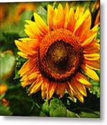 Sunflower At Buttonwood Farm Metal Print