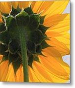 Sunflower Back Metal Print