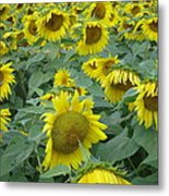 Sunflower Beauty II Metal Print