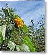 Sunflower Bloom Metal Print