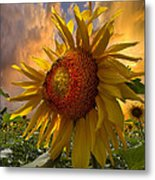 Sunflower Dawn Metal Print by Debra and Dave Vanderlaan