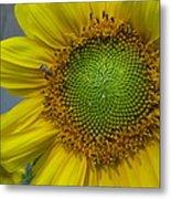 Sunflower Dew-bee Metal Print