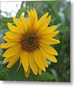 Sunflower Directly... Metal Print