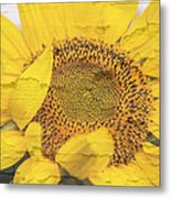 Sunflower Drying Up Metal Print