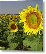 Sunflower Field 1 Metal Print