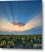 Sunflower Field At Sunset Metal Print