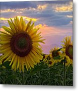 Sunflower Field Metal Print by Debra and Dave Vanderlaan