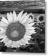 Sunflower Field Forever Bw Metal Print