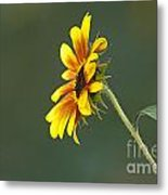 Sunflower From The Side Metal Print