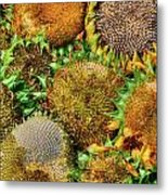 Sunflower Harvest Metal Print