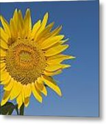 Sunflower, Helianthus Annuus Metal Print
