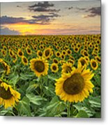 Sunflower Images - A Field Of Golden Texas Wildflowers Metal Print