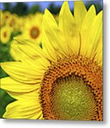 Sunflower In Field Metal Print by Elena Elisseeva