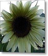 Sunflower In Light Metal Print