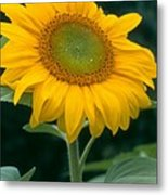 Sunflower In Seattle Metal Print