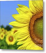 Sunflower In Sunflower Field Metal Print by Elena Elisseeva