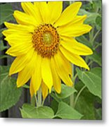 Sunflower Metal Print by Lisa Phillips