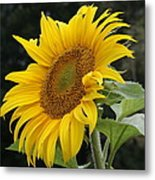 Sunflower Looking To The Sky Metal Print
