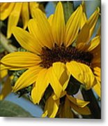 Sunflower Madness  Metal Print by Scott Ware