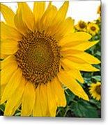 Fibonacci In Full Bloom Metal Print