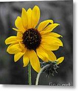 Sunflower On Gray Metal Print