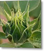 Sunflower Pod Metal Print