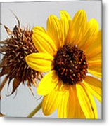 Sunflower Stages Metal Print