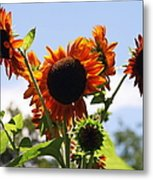 Sunflower Symphony Metal Print by Karen Wiles