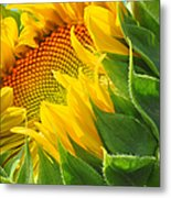 Sunflower Unfolding  Metal Print