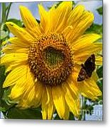 Sunflower With Butterfly Metal Print