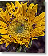 Sunflower With Ladybugs Metal Print