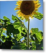 Sunflower With Sun Metal Print by Donna Doherty